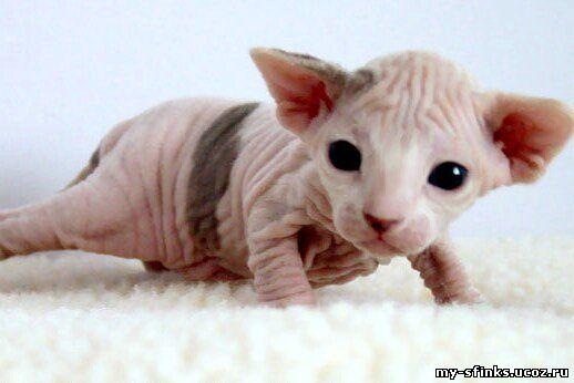 Стоимость кот сфинкса