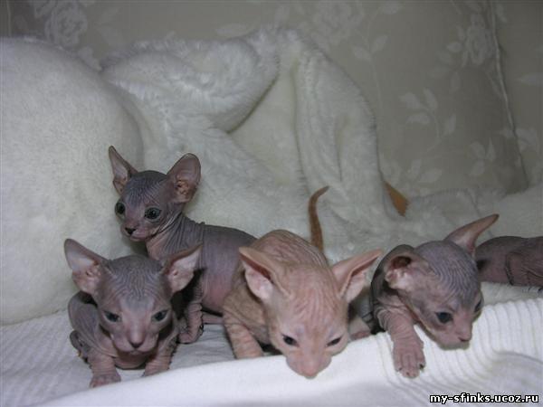 бесплатно котята сфинкса: