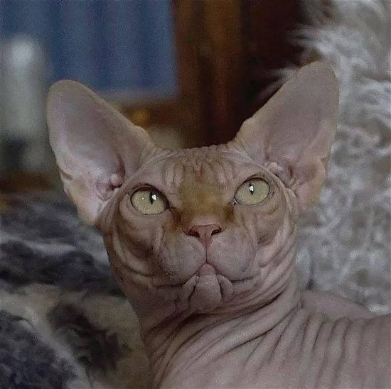 Египетский сфинкс картинки кошек