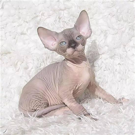 сфинкс египетский кошка фото поплавать