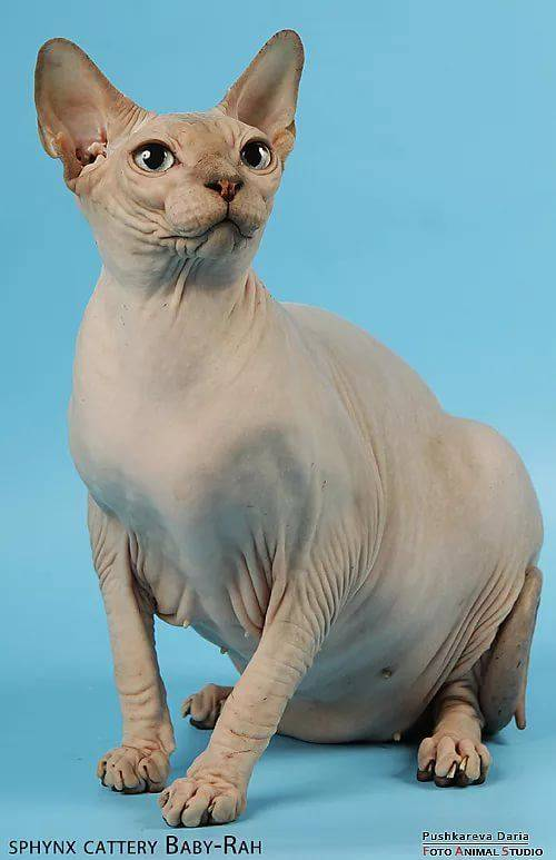 будет сфинкс египетский кошка фото думаем откуда взялась