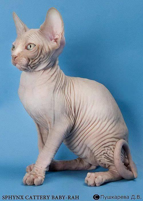сфинкс египетский кошка фото образ макияжа