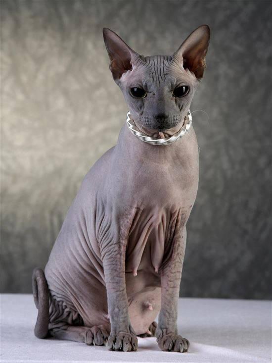 Картинки кошек сфинкс порода