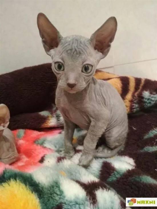метис сфинкса и обычной кошки фото она