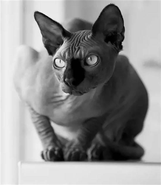 всегда сфинкс черный кошка картинки применяется