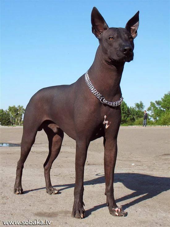 собака породы сфинкс