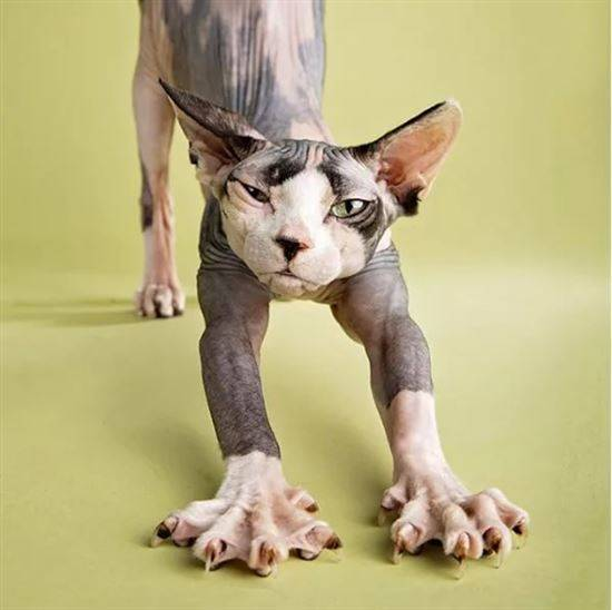 Прикольная картинка кошка сфинкс